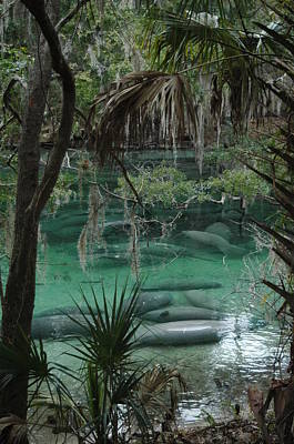 Manatees Photograph - Manatees In The Springs by Sheri Heckenlaible