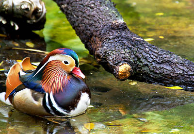 Photograph - Mandarin Duck by Bibi Rojas