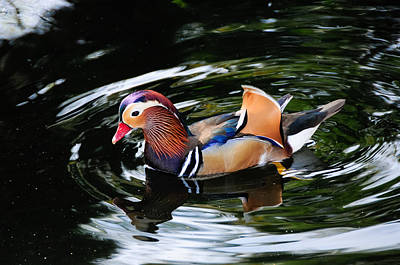 Photograph - Mandarin Duck by Don and Bonnie Fink