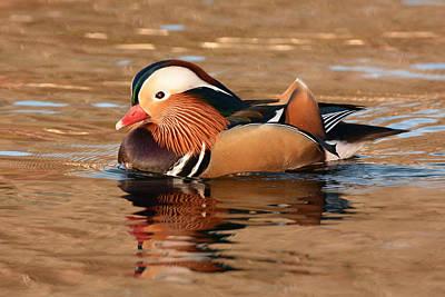 Photograph - Mandarin Duck Glory by Alan Lenk