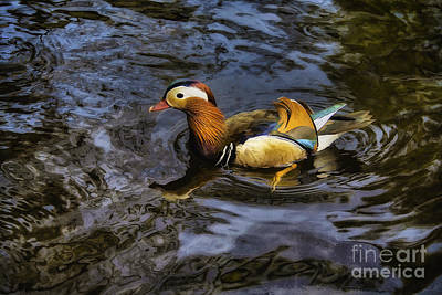 Photograph - Mandarin Duck by Ian Mitchell