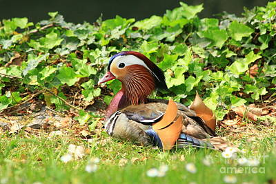 Lake Photograph - Mandarin Duck In The Grass by Amanda Mohler