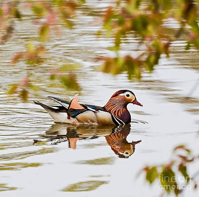 Photograph - Mandarin Duck Reflection  by Kerri Farley