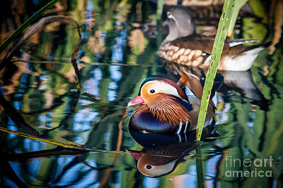 Mandarin Duck Reflections Art Print by Peta Thames