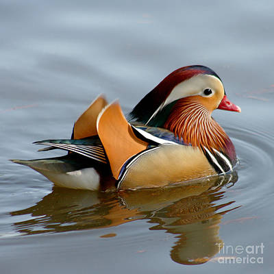 Print featuring the photograph Mandarin Duck Swimming by Bob and Jan Shriner