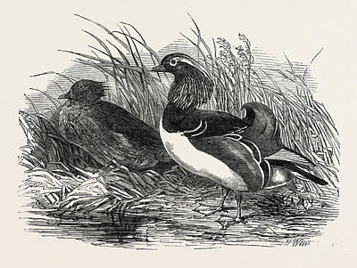 Mandarin Drawing - Mandarin Ducks, 1851 Engraving by English School