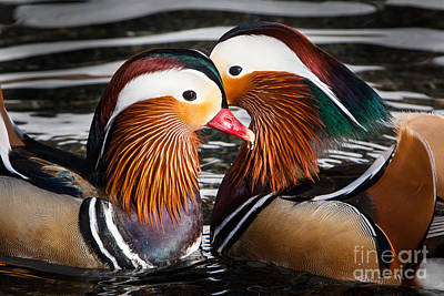 Mandarin Lovers Art Print