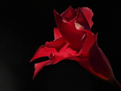 Photograph - Mandevilla - 2 by Jeffrey Peterson