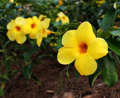 Photograph - Mandevilla by Judy Vincent