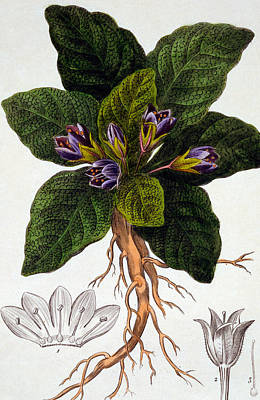 Flores Painting - Mandragora Officinarum by Pancrace Bessa