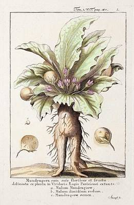 Mandrake Plant Art Print by Paul D Stewart
