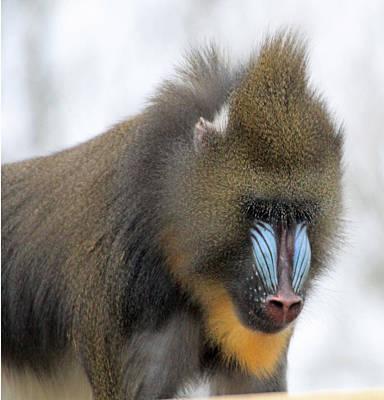 Colourfull Photograph - Mandrel Monkey by Martyn Bennett