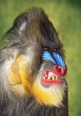 Robert Jensen Photograph - Mandrill by Robert Jensen