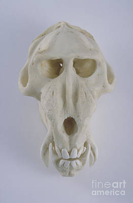 Photograph - Mandrill Skull by Barbara Strnadova