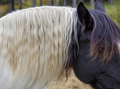 Photograph - Mane by Charles Harden
