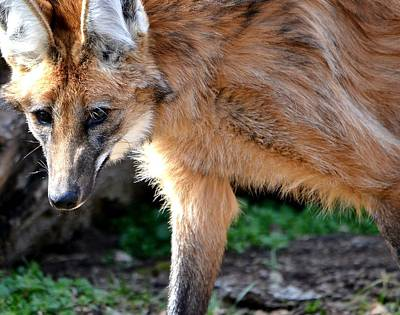 Gray Muzzle Photograph - Maned Wolf by Deena Stoddard