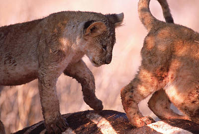 Predation Photograph - Maneless Lions Kenya Hunting Hilling by Robert Caputo