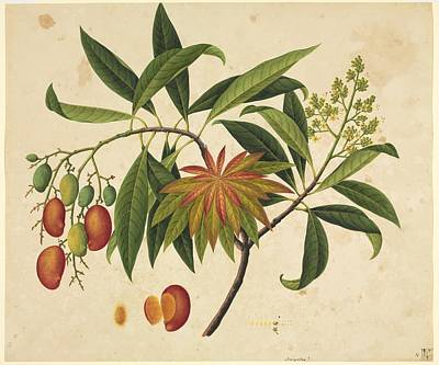 Mango Wall Art - Photograph - Mangifera Indica, 19th-century Artwork by Science Photo Library