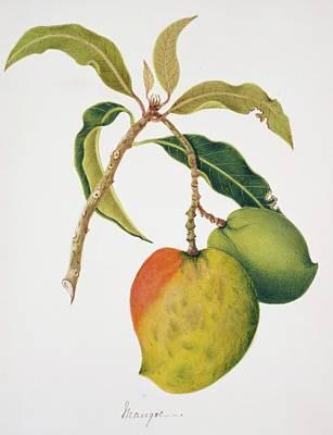 Mango Wall Art - Photograph - Mango Fruits by Natural History Museum, London/science Photo Library