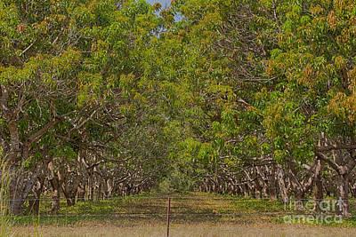 Mango Photograph - Mango Orchard by Douglas Barnard