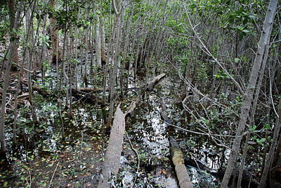 Photograph - Mangrove 001 by Larry Ward