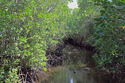 Photograph - Mangrove Forest by Tony Murtagh