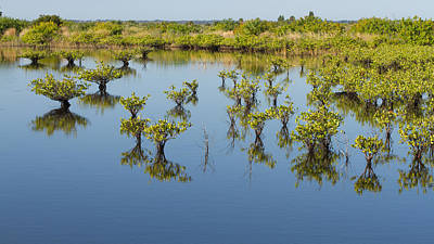 Photograph - Mangrove Nursery by Paul Rebmann