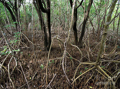 Mangrove Forest Photograph - Mangrove Roots by Tracy Knauer