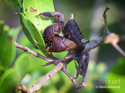 Photograph - Mangrove Tree Crab by Barbara Bowen