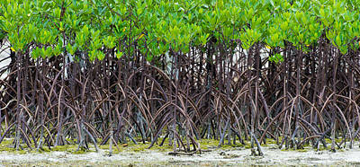 Photograph - Mangroves by Avian Resources
