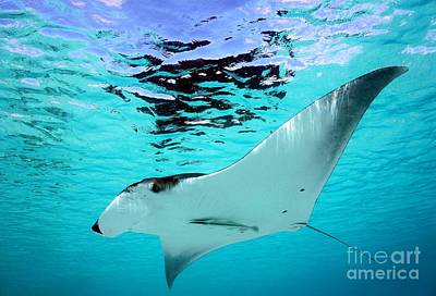Photograph - Manta Ray by Isabelle Kuehn