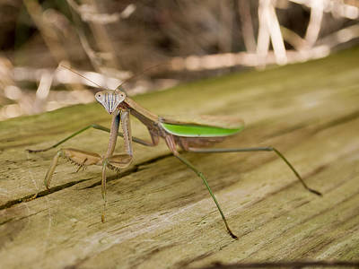 Photograph - Mantis by Carl Engman