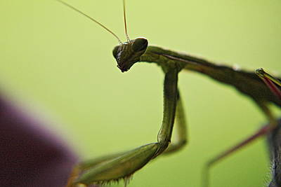 Photograph - Mantis Glance by Trent Mallett