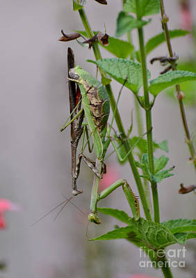 Photograph - Mantis Love by Kathy Baccari