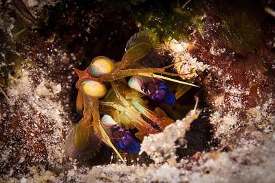 Photograph - Mantis Shrimp by J Gregory Sherman