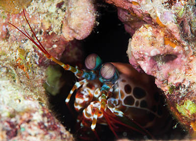 Hiding Photograph - Mantis Shrimp On A Reef by Louise Murray