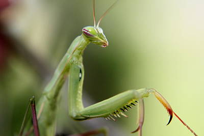 Photograph - Mantis by Trent Mallett