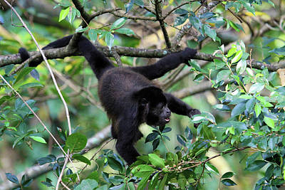 Stock Male Photograph - Mantled Howler Monkey (alouatta Palliata by Miva Stock