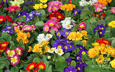 Many Flowers Primula Spring In Wholesale 2 Art Print by Federico Candoni