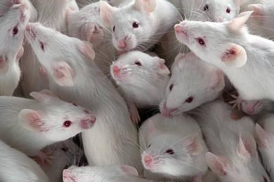 Many Lab Mice Art Print