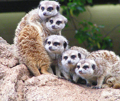 Photograph - Many Meerkat Sentries by Margaret Saheed