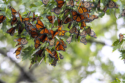 Many Migrant Monarchs Art Print