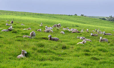 Photograph - Many Sheep In A Field. by John Orsbun