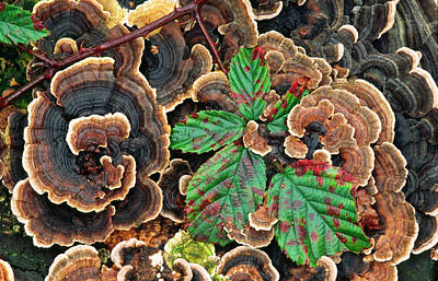 Bracket Fungus Photograph - Many-zoned Polypore Or Turkey-tail by Nigel Downer