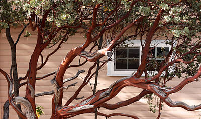 Manzanita Art Print by Denice Breaux