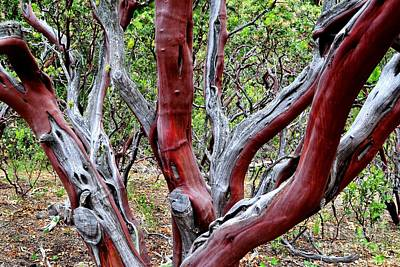 Photograph - Manzanita by Third Eye Perspectives Photographic Fine Art