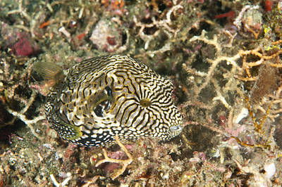 Puffer Fish Photograph - Map Puffer by Andrew J. Martinez