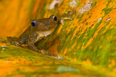 Photograph - Map Treefrog by Michael Lustbader