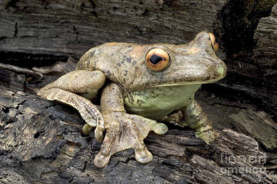 Photograph - Map Treefrog by Natures Images