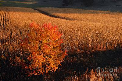 Cornfield Photograph - Maple And Cornfield At Dawn by Larry Ricker